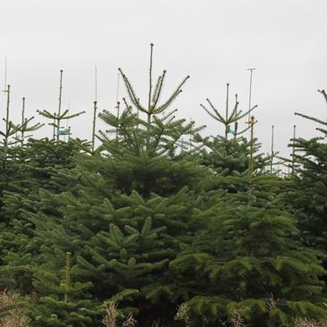 tannenbaum online kaufen wir liefern den weihnachtsbaum. Black Bedroom Furniture Sets. Home Design Ideas